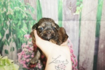 Luke Skywalker (Barkley) Male CKC Shorkie $2000 Ready 7/18 HAS DEPOSIT MY NEW FLAGLER, FL 11 oz 2W5D Old