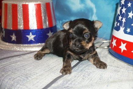 Squirt Male CKC Havashire $2000 Ready 8/13 HAS DEPOSIT MY NEW HOME TALLAHASSEE, FL 1lbs 2.5oz 2W6D Old