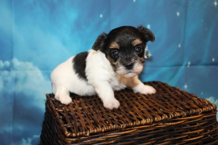 Antony Male CKC Havashire $2000 Ready 7/29 HAS DEPOSIT MY NEW HOME 1 Lb 6 oz 4 Weeks Old
