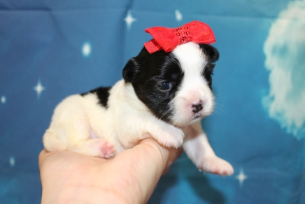 Bubbles Female CKC Malshi $2000 Ready 8/8 HAS DEPOSIT! MY NEW HOME IS IN JACKSONVILLE, FL 1lb 1oz 2W3D Old