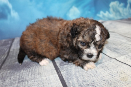 Casanova Male CKC Shihpoo $2000 Ready 8/1 HAS DEPOSIT MY NEW HOME VALRICO, FL 1lb 7oz 3W3D Old