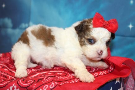 Casey (Zeeza) Female CKC Shihpoo $2000 Ready 8/1 HAS DEPOSIT MY NEW HOME ROCKLEDGE, FL 1lb 3oz 3W3D Old