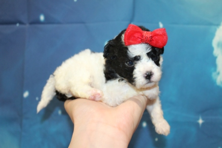 Celene Female CKC Shihpoo $2000 Ready 8/1 HAS DEPOSIT MY NEW HOME GAINESVILLE, FL 14oz 3W3D Old