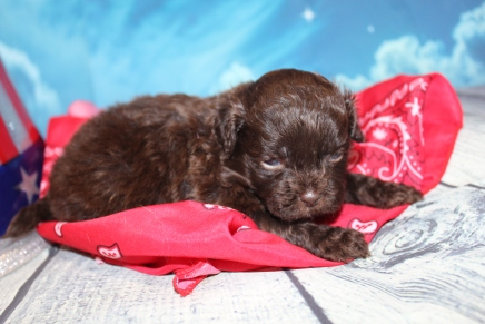Clyde Male CKC Shihpoo $2000 Ready 8/1 HAS DEPOSIT MY NEW HOME JACKSONVILLE, FL 1lb 5oz 3W3D Old