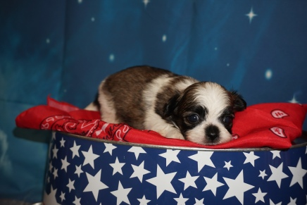 Coco Female CKC Havashu $2000 Ready 8/5 HAS DEPOSIT MY NEW HOME TAMPA FL, 1Lb 1oz 3W6D Old