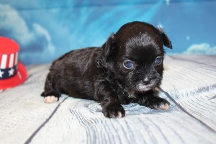 Colby Male CKC Shihpoo $2000 Ready 8/1 HAS DEPOSIT MY NEW HOME ST JOHNS, FL 14oz 3W3D Old