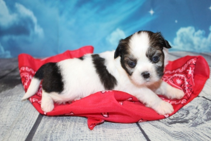 Cooper Male CKC Shihpoo $2000 Ready 8/1 HAS DEPOSIT! MY NEW HOME IS IN JACKSONVILLE,FL 1lb 6oz 3W3D Old
