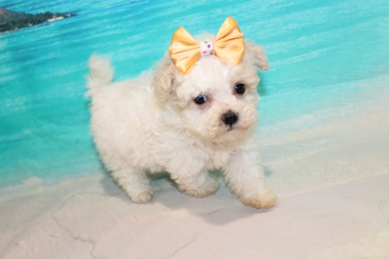 Dee Dee (Willow) Female CKC Maltipoo $2000 Ready 8/1 SOLD MY NEW HOME JACKSONVILLE, FL 1lb 5oz 6W4D Old