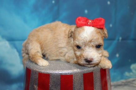 Delilah (Maple) Female CKC Maltipoo $2000 Ready 8/1 HAS DEPOSIT MY NEW HOME PONTE VEDRA BEACH, FL 14oz 3W3D Old