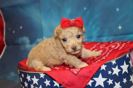 Desiree Female CKC Maltipoo $2000 Ready 8/1 HAS DEPOSIT MY NEW HOME ATLANTIC BEACH, FL 1 14oz 3W3D Old