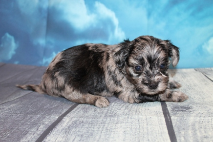 Divo (Dandy) Male CKC Havapoo $2000 Ready 7/25 HAS DEPOSIT MY NEW HOME MANDEVILLE, LA 1lb 11oz 4W4D Old