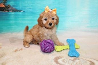 Elsa (Prissy) Female CKC Mini Labradoodle$2000 Ready 7/30 SOLD MY NEW HOME JACKSONVILLE, FL 2lbs 6oz 4 Weeks old
