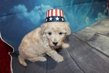 Folgers (Simba) Male CKC Maltipoo $2000 Ready 7/25 HAS DEPOSIT MY NEW HOME JULIETTE, GA 2lbs 11 oz 4W2D Old
