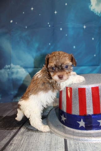 Fox Male CKC Havapoo $2000 Ready 7/22 HAS DEPOSIT MY NEW HOME JACKSONVILLE, FL 1lb 4oz 5 Weeks Old