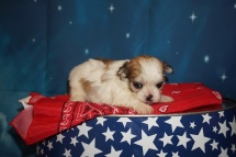 GiGi Female CKC Havashu $2000 Ready 8/5 HAS DEPOSIT MY NEW HOME JACKSONVILLE, FL 15.3oz 3W6D Old