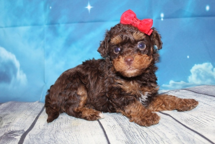 Granny (Molly) Female CKC Havapoo $2000 Ready 7/22 HAS DEPOSIT MY NEW HOME COPPELL, TX 1lb 6oz 5 Weeks Old