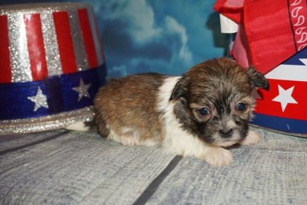 Jack Jack (Cappuccino) Male CKC Havashu $2000 Ready 8/5 HAS DEPOSIT MY NEW HOME STATEN ISLAND, NY 13.9oz 3W6D Old