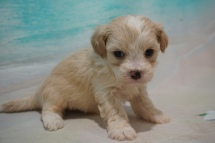 Jasper (Marty) Male CKC Maltipoo $2000 Ready 8/22 HAS DEPOSIT MY NEW HOME DELAWARE 1 Lb 4oz 4W3D Old