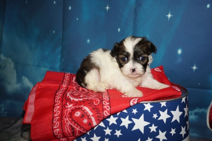 Kiki (Chippy) CKC Havashu $2000 Ready 8/5 HAS DEPOSIT MY NEW HOME JACKSONVILLE, FL 1Lb 2oz 3W6D Old
