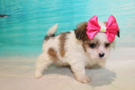 Lolo (Lola) Female CKC Havashu $2000 Ready 8/5 SOLD MY NEW HOME Ponte Vedra, FL 1 Lb 5.5 oz 6 Weeks Old