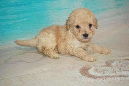 M-O Male CKC Bichonpoo A/K/A Poochon $2000 Ready 8/22 HAS DEPOSIT MY NEW HOME CONWAY, SC 1Lb 10oz 4W5D old