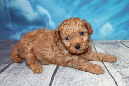 Maxwell (Nemo) Male CKC Maltipoo $2000 Ready 7/25 HAS DEPOSIT MY NEW HOME IS MIAMI, FL 2lbs 1 oz 4W2D Old