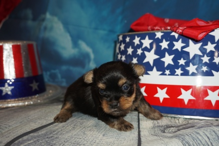Munchkin ( Cash) Male CKC Havashire $2000 Ready 8/13 HAS DEPOSIT MY NEW HOME MARLBORO, MD 1lbs 2W6D Old