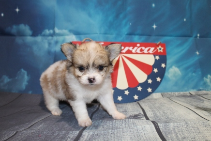 Penny Female Miki $2000 Ready 7/17 HAS DEPOSIT MY NEW HOME JACKSONVILLE, FL 1lb 7oz 5W3D Old
