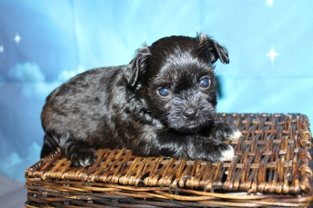 Prince (Herlz)Male CKC Havapoo $2000 Ready 7/25 HAS DEPOSIT MY NEW HOME JACKSONVILLE, FL 1lb 9oz 4W4D Old