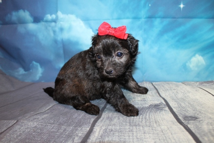 Princess Female CKC Havapoo $2000 Ready 7/25 HAS DEPOSIT MY NEW HOME VERO BEACH, FL 1lb 7oz 4W4D Old