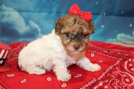 Red Riding Hood Female CKC Havapoo $2000 Ready 7/22 HAS DEPOSIT MY NEW HOME GREEN COVE SPRINGS, FL 1lb 4oz 5 Weeks Old