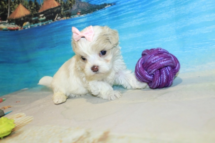 Sabrina (Bella) CKC Maltipoo $2000 Ready 8/16 HAS DEPOSIT MY NEW HOME JACKSONVILLE, FL 1lb 5oz 4D4W Old