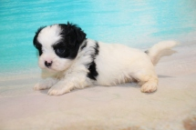 Beau Male CKC Malshi $2000 Ready 8/8 HAS DEPOSIT! MY NEW HOME IS IN PALM HARBOR, FL 1lb 15oz 5W3D Old