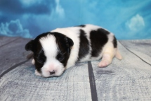 Button Female CKC Malshi $2000 Ready 8/8 HAS DEPOSIT MY NEW HOME NY 1lb 1oz 2W3D Old