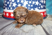 Charlie Male CKC Shihpoo $2000 Ready 8/1 HAS DEPOSIT! MY NEW HOME IS IN TAMPA, FL 12oz 3W3D Old