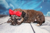 Christina Female CKC Shihpoo $2000 Ready 8/1 HAS DEPOSIT MY NEW HOME LITHIA, FL 15oz 3W3D Old