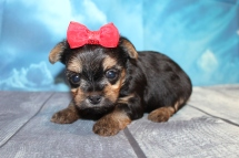 Cleopatra Female CKC Havashire $2000 Ready 7/29 HAS DEPOSIT MY NEW HOME WAYCROSS, GA 1 Lb 3oz 4 Weeks Old