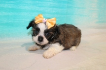 Coco Female CKC Havashu $2000 Ready 8/5 SOLD MY NEW HOME TAMPA FL, 1Lb 8oz 6 Weeks Old