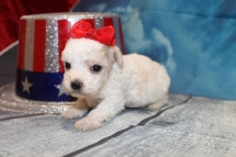 Dee Dee (Willow) Female CKC Maltipoo $2000 Ready 8/1 HAS DEPOSIT MY NEW HOME JACKSONVILLE, FL 13oz 3W3D Old