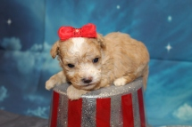 Delilah (Maple) Female CKC Maltipoo $2000 Ready 8/1 HAS DEPOSIT MY NEW HOME PONTE VEDRA BEACH, FL 3W3D Old