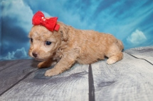 Desiree Female CKC Maltipoo $2000 Ready 8/1 HAS DEPOSIT MY NEW HOME ATLANTIC BEACH, FL 14oz 3W3D Old