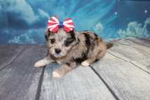 Diva Female CKC Havapoo $2000 Ready 7/25 HAS DEPOSIT MY NEW HOME MIAMI, FL 1lb 14oz 4W4D Old