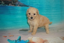 Eve Female CKC Bichonpoo A/K/A Poochon $2000 Ready 8/22 HAS DEPOSIT MY NEW HOME CONWAY, SC 1Lb 7oz 4W5D old