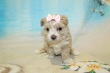 Farrah (Kai) CKC Maltipoo $2000 Ready 8/16 HAS DEPOSIT MY NEW HOME SARASOTA, FL 1lb 11.5oz 4W4D Old