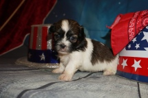 Joe Joe (Georgie) Male CKC Havashu $2000 Ready 8/5 HAS DEPOSIT MY NEW HOME JACKSONVILLE, FL 1Lb 4oz 3W6D Old