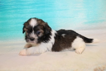Joe Joe (Georgie) Male CKC Havashu $2000 Ready 8/5 SOLD MY NEW HOME JACKSONVILLE, FL 2Lb 1oz 7 Weeks Old