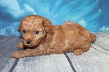 Maxwell (Nemo) Male CKC Maltipoo $2000 Ready 7/25 HAS DEPOSIT MY NEW HOME IS MIAMI, FL 2lbs 1oz 4W2D Old