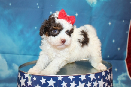 Mutter Female CKC Havapoo $2000 Ready 7/22 HAS DEPOSIT MY NEW HOME JACKSONVILLE, FL 1lb 9oz 5 Weeks Old