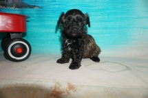 Peanut (Duke) Male CKC Havapoo $2000 Ready 8/16 HAS DEPOSIT MY NEW HOME JACKSONVILLE, FL 1 lb 2oz 5W2D Old