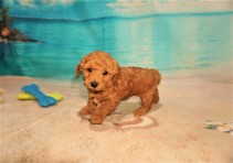 Penny Female CKC Miniature Poodle $2000 Ready 8/20 HAS DEPOSIT MY NEW HOME ATLANTIC BEACH, FL 2lbs 3oz 4W5D Old